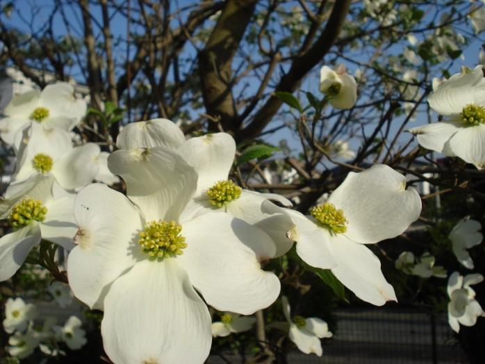 ハナミズキ 白 花