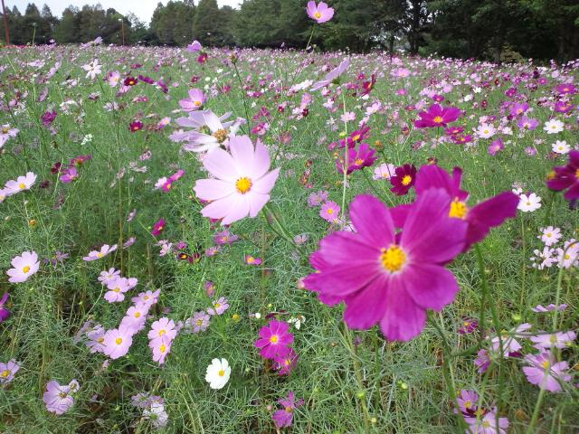 大宮花の丘公園 コスモス